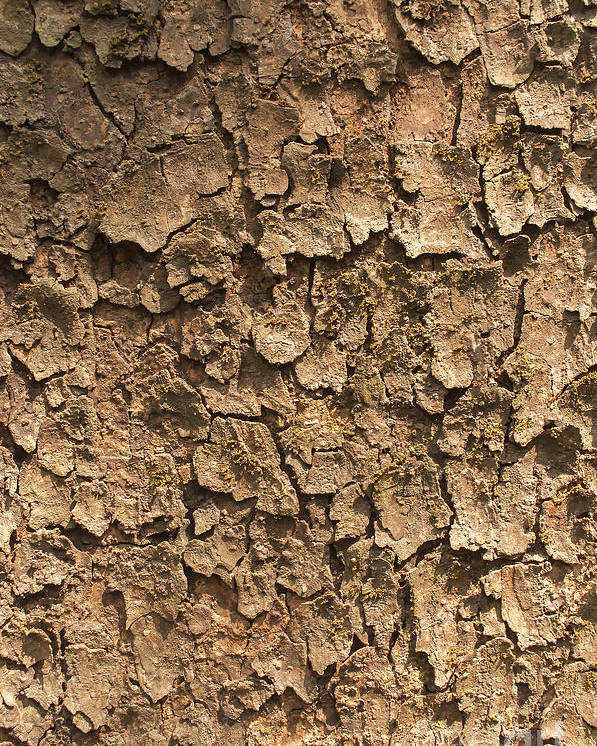 Textured Poster featuring the photograph Bark Of A Tree by Rudra Narayan Mitra