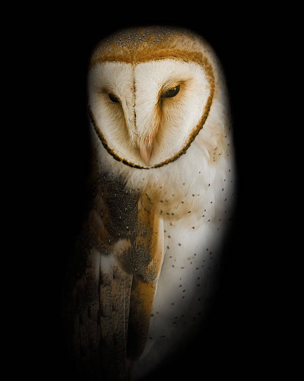 Owl Poster featuring the photograph Barn Owl by Bill Wakeley