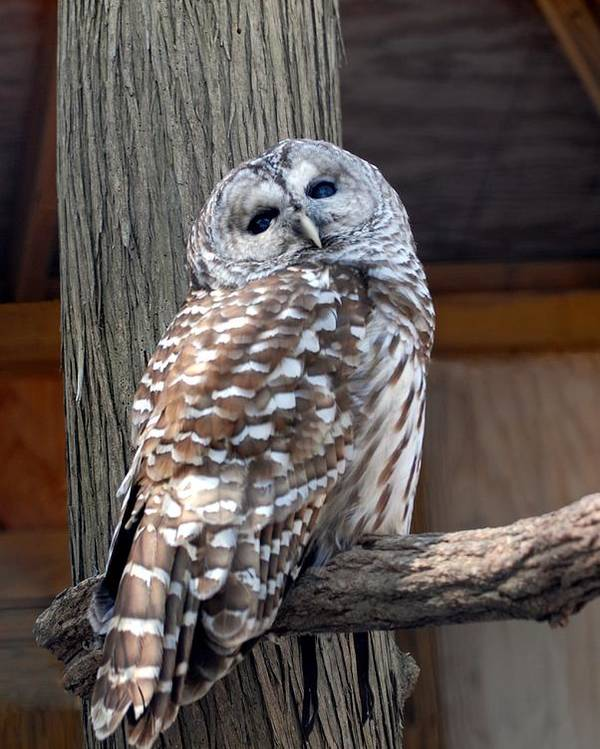 Barred Owl Poster featuring the photograph Barred Owl 264 by Joyce StJames