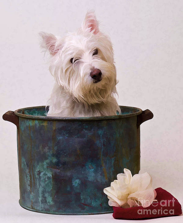 Dog Poster featuring the photograph Bath Time Westie by Edward Fielding