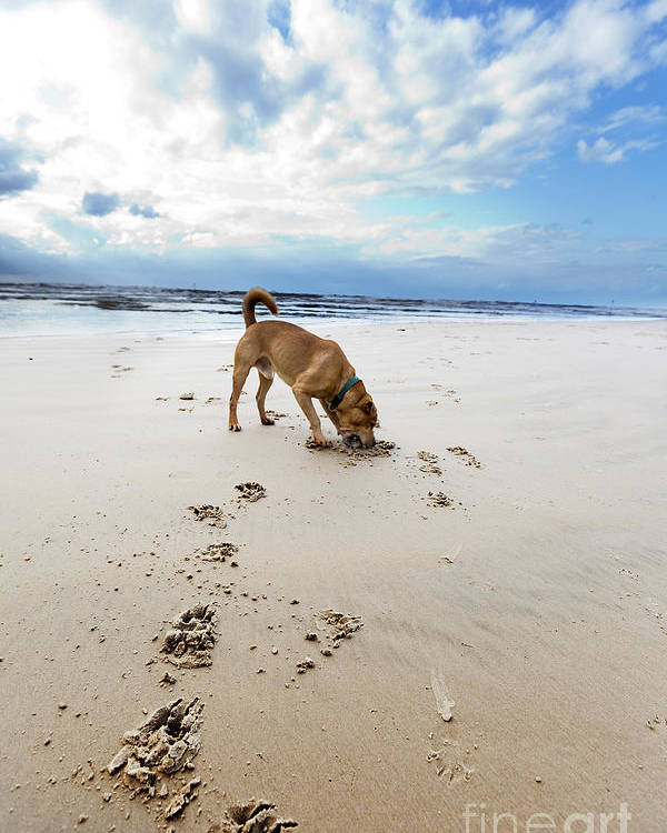 Dog Poster featuring the photograph Beach Dog by Eldad Carin
