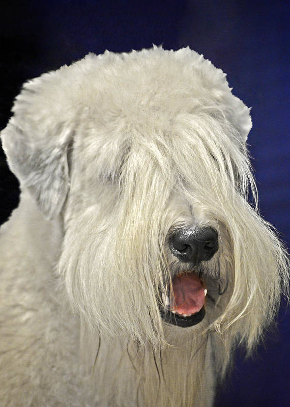 Bearded Poster featuring the photograph Bearded Collie - The 'bouncing Beardie' by Christine Till