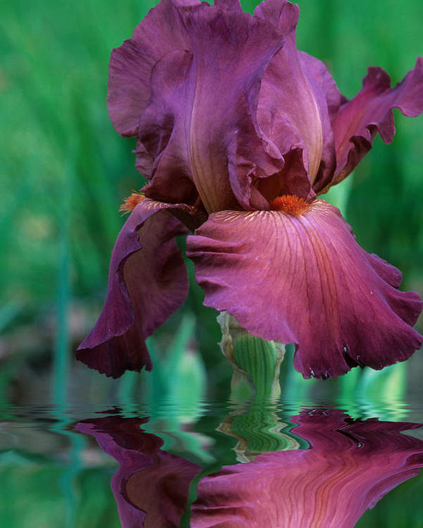 A Bearded Iris Stands In Water Poster featuring the photograph Bearded Iris in Water by Keith Gondron