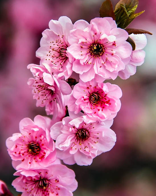 Blooms Poster featuring the photograph Beautiful Pink Blossoms by Robert Bales
