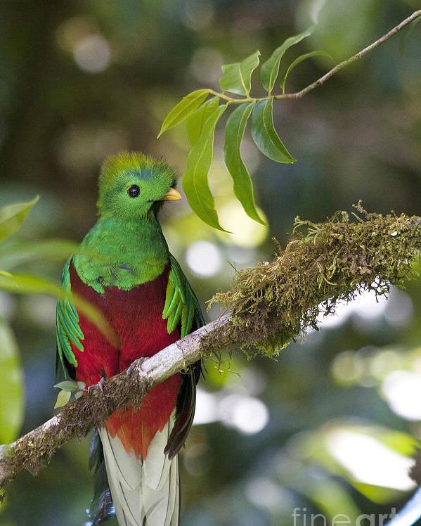 Bird Poster featuring the photograph Beautiful Quetzal 1 by Heiko Koehrer-Wagner