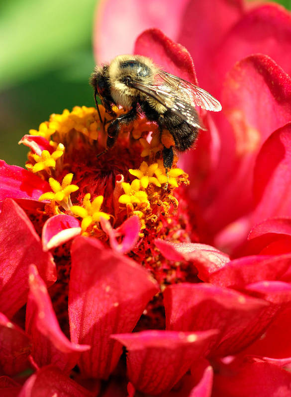 Zinnia Poster featuring the photograph Bee On A Zinnia Flower by Optical Playground By MP Ray