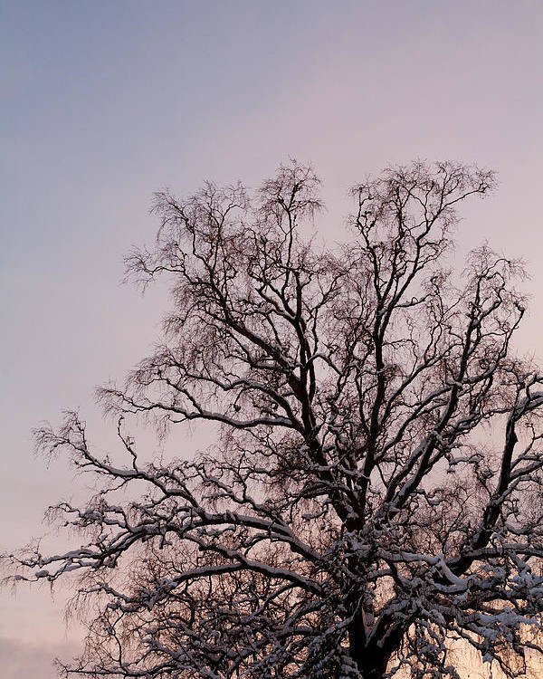 Bergen Poster featuring the photograph Bergen Winter Tree by Hakon Soreide