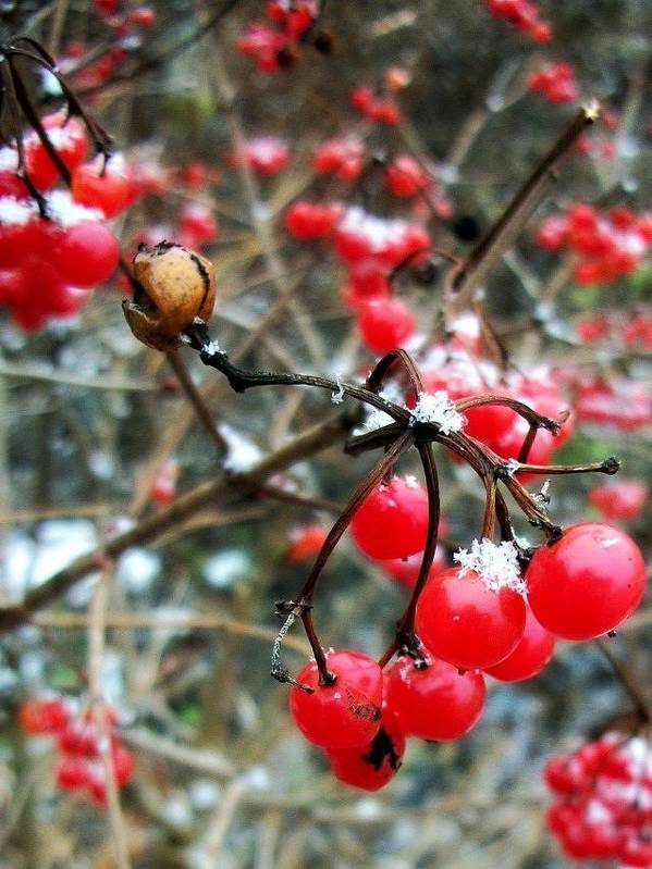 Nature Poster featuring the photograph Berry Cold Outside by Sarah Marie Hiemstra