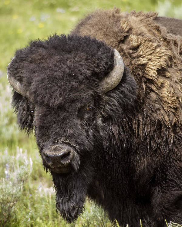 Bison Poster featuring the photograph Big Bruiser Bison by Carolyn Fox