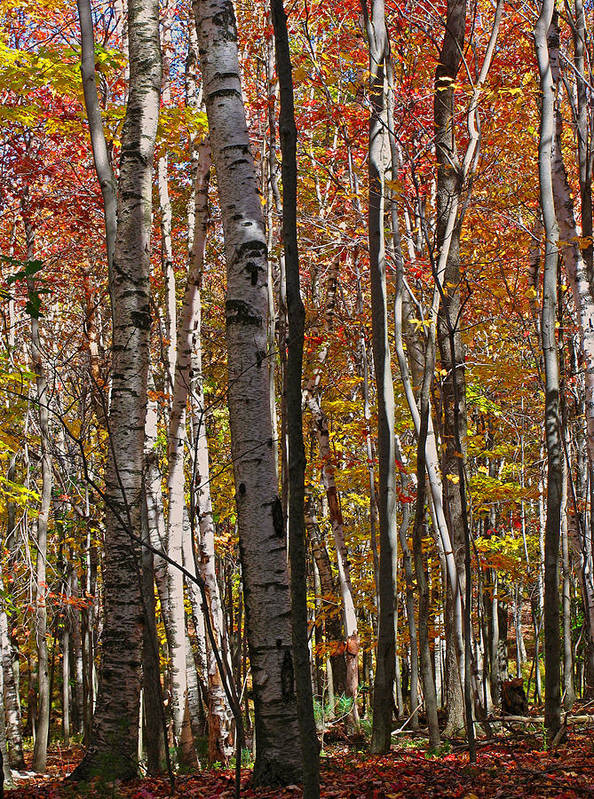 Foliage Poster featuring the photograph Birch Trees In Autumn by Juergen Roth