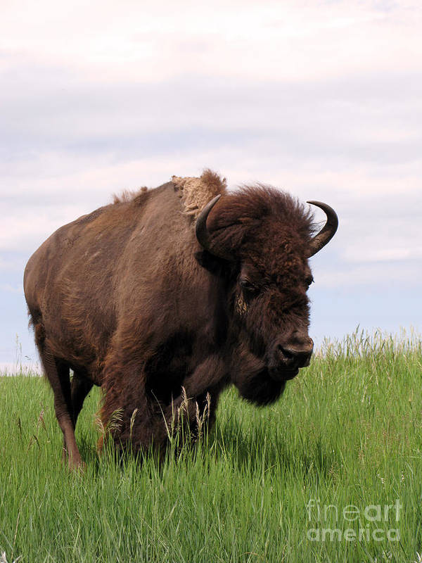 Antique Poster featuring the photograph Bison On The Prairie by Olivier Le Queinec