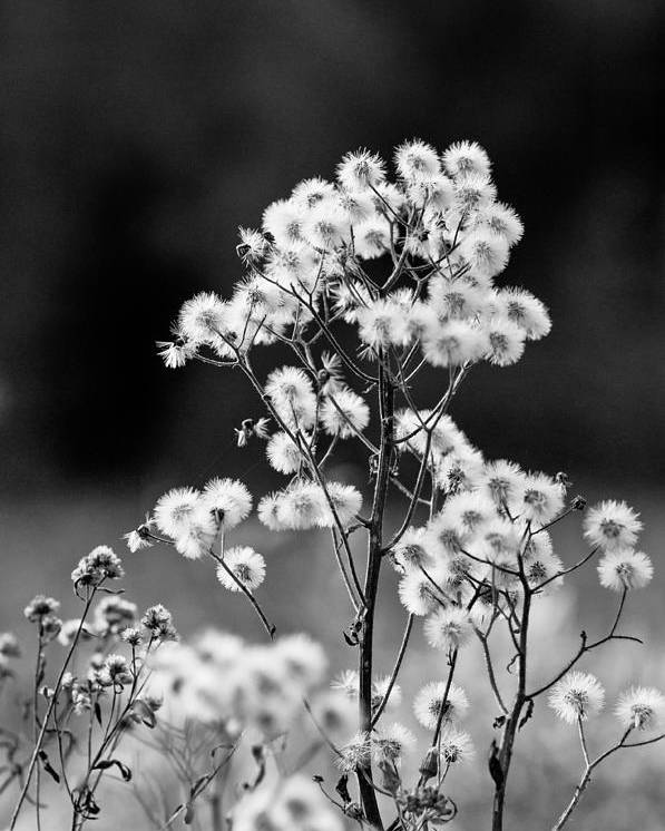 f2183c4bb Poster featuring the photograph Black And White Field Flowers by Scott Hafer