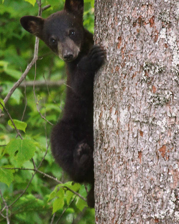 Maine Wildlife Poster featuring the photograph Black Bear Cub by Sharon Fiedler