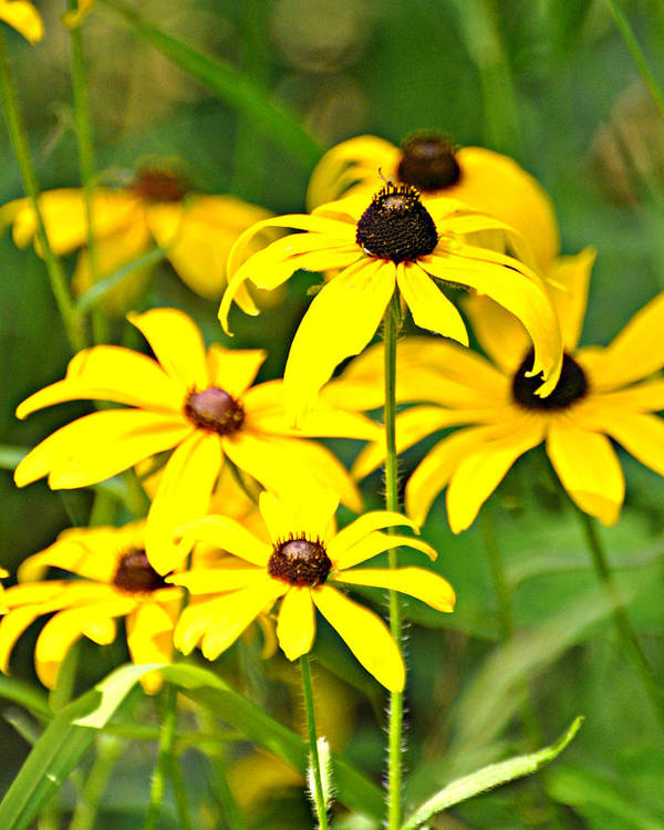 Flower Poster featuring the photograph Black Eyed Susan 1 by Marty Koch