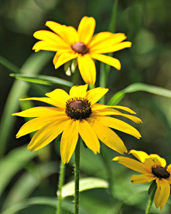Flowers Poster featuring the photograph Black Eyed Susan by Marty Koch