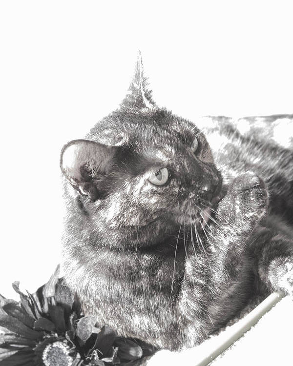 Cat Poster featuring the photograph Black N White Cat by Dawn Whiteaker