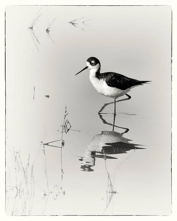Black-necked Stilt Poster featuring the photograph Black-necked Stilt At Carson Lake Wetlands by Priscilla Burgers