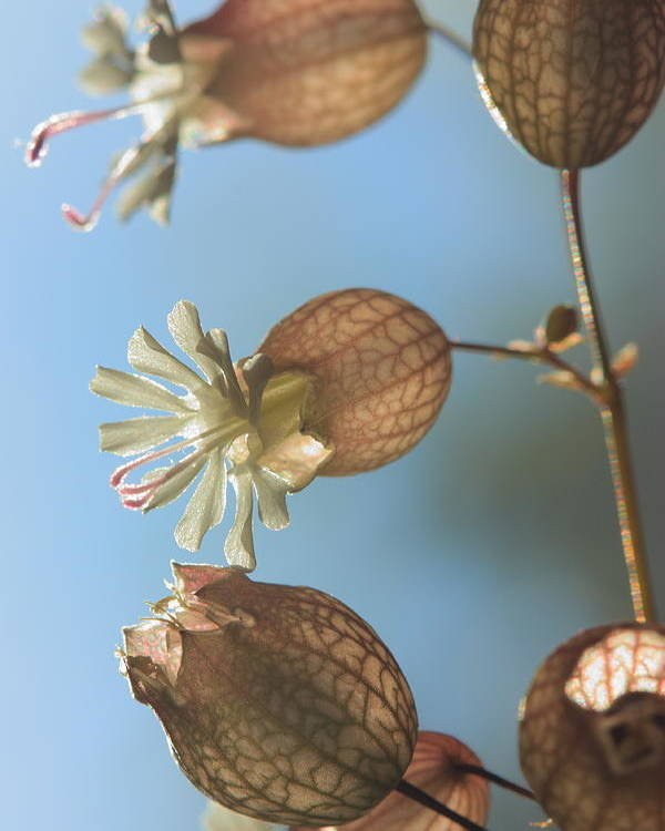 Bladder Campion Poster featuring the photograph Bladder Camion by Rebeka Dove