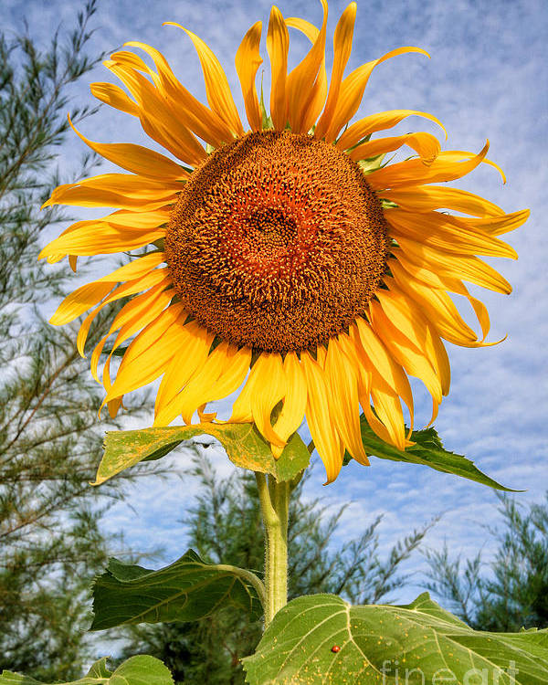 Hdr Poster featuring the photograph Blooming Sunflower V2 by Adrian Evans