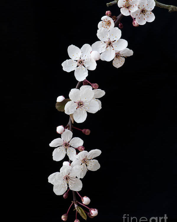 Prunus Poster featuring the photograph Blossom On Black by Tim Gainey