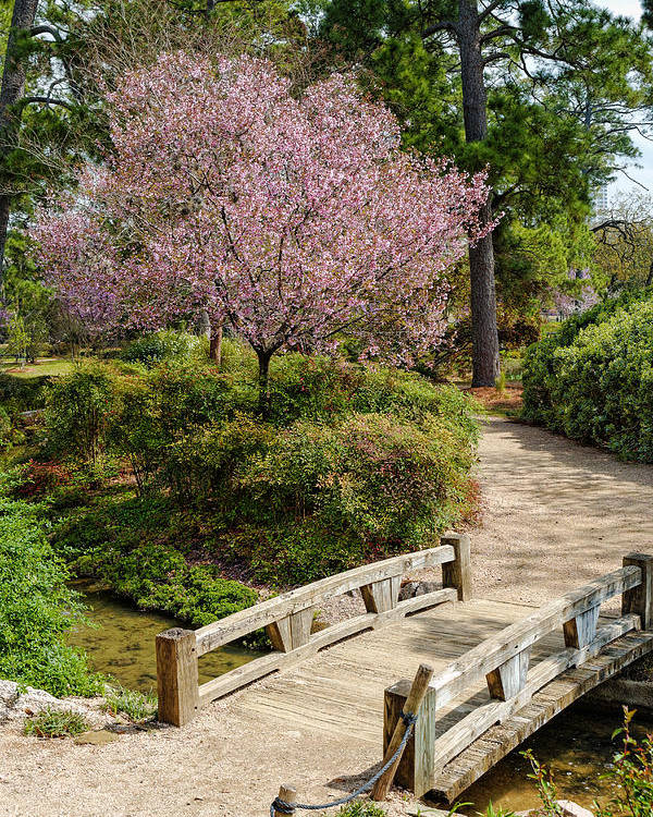 Delicieux Houston Poster Featuring The Photograph Blossoming Cherry Tree At Houston  Japanese Garden   Hermann Park By