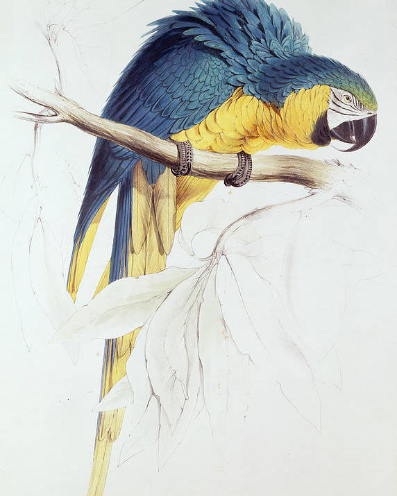 Parrot Poster featuring the painting Blue And Yellow Macaw by Edward Lear