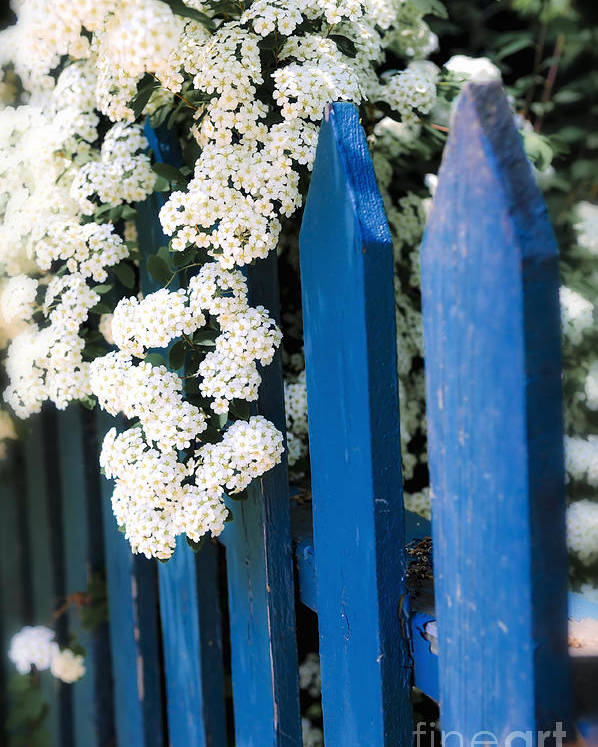 Fence Poster featuring the photograph Blue Garden Fence With White Flowers by Elena Elisseeva