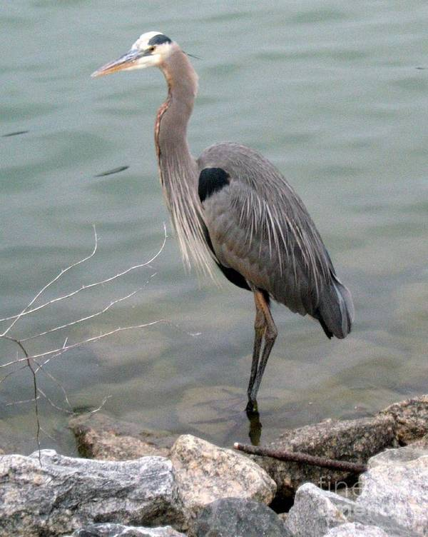 Blue Heron Poster featuring the photograph Blue Heron by Wendy Coulson