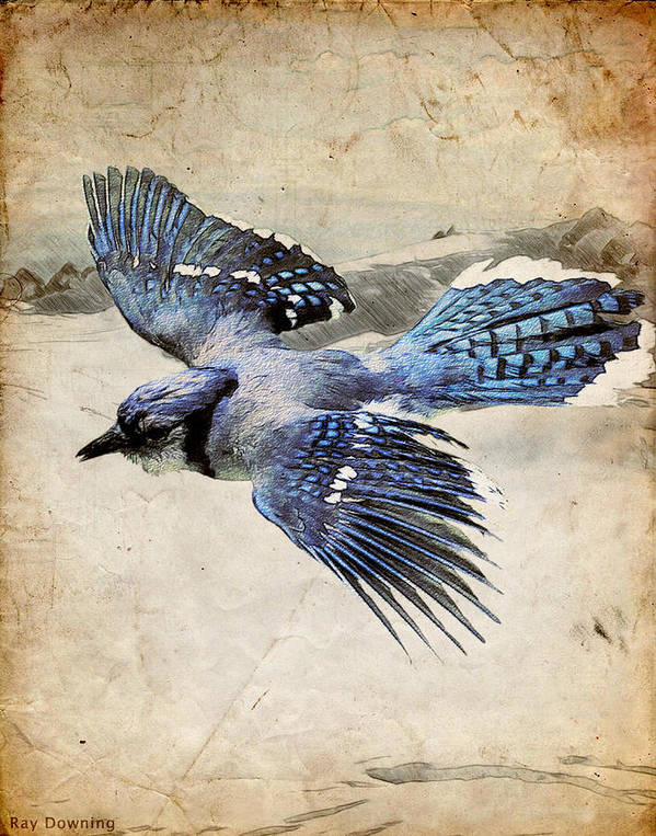 Blue Jay Poster featuring the digital art Blue Jay In Flight by Ray Downing