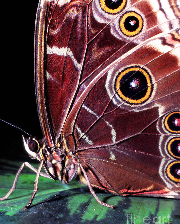 Blue Morpho Poster featuring the photograph Blue Morpho Butterfly by Thomas R Fletcher