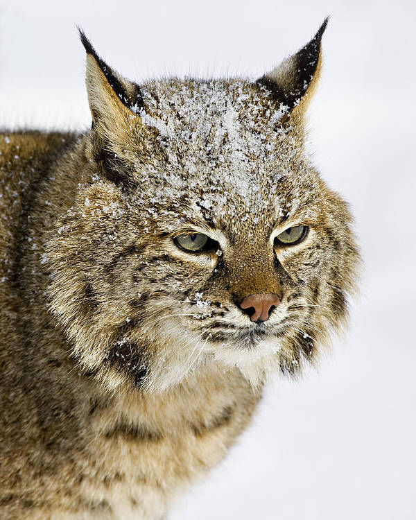 Bobcat Poster featuring the photograph Bob by Jack Milchanowski