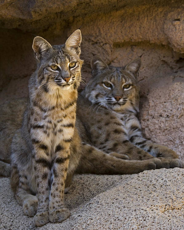 Two Poster featuring the photograph Bobcat 8 by Arterra Picture Library