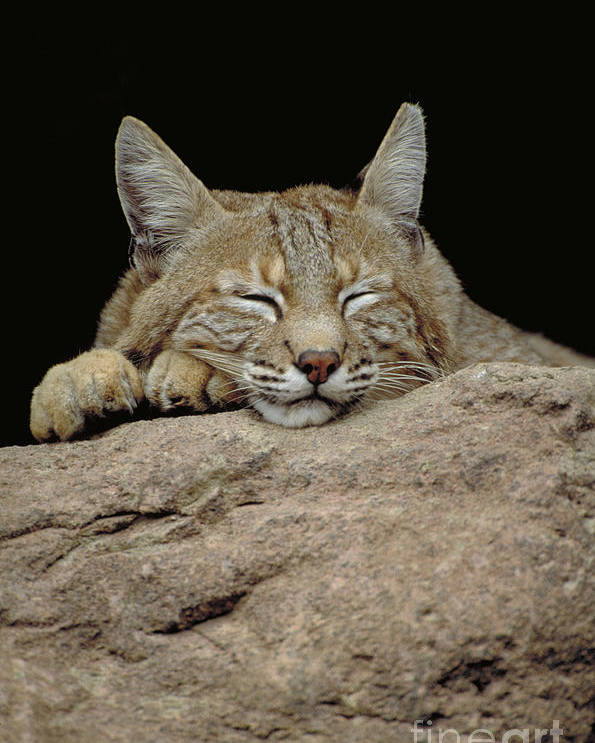 Vertical Poster featuring the photograph Bobcat, Arizona by Art Wolfe