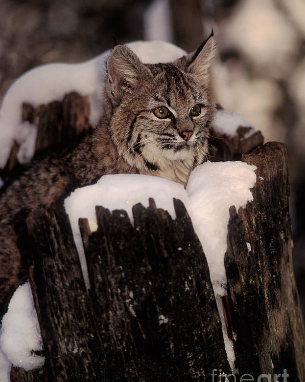 Animal Poster featuring the photograph Bobcat Kitten by Ron Sanford
