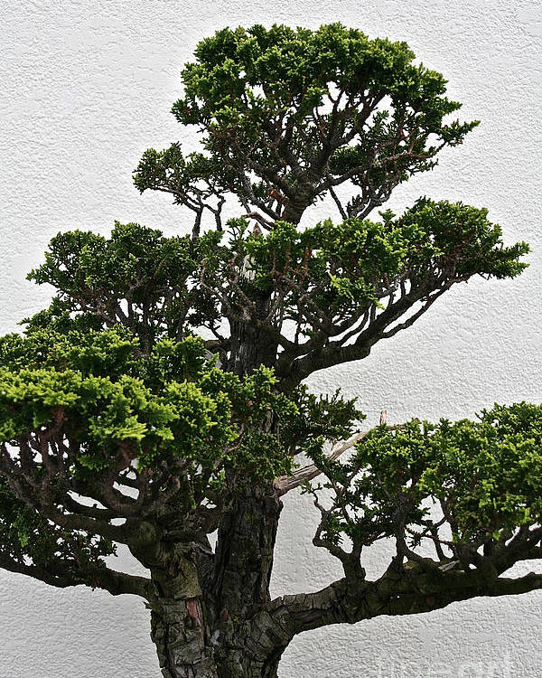 Tree Poster featuring the photograph Bonsai Pine by Susan Herber