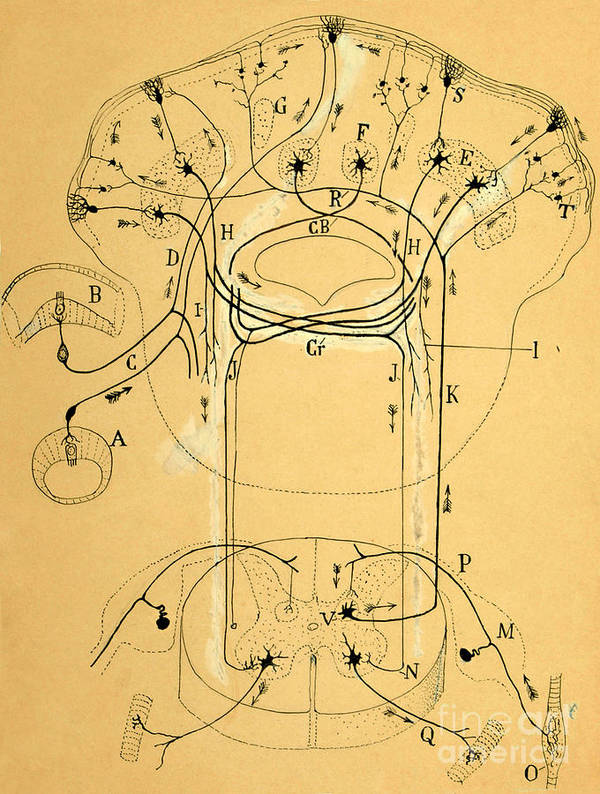 Vestibular Connections Poster featuring the photograph Brain Vestibular Sensor Connections By Cajal 1899 by Science Source