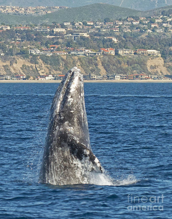 Breaching Gray Whale Poster featuring the photograph Breaching Gray Whale by Loriannah Hespe
