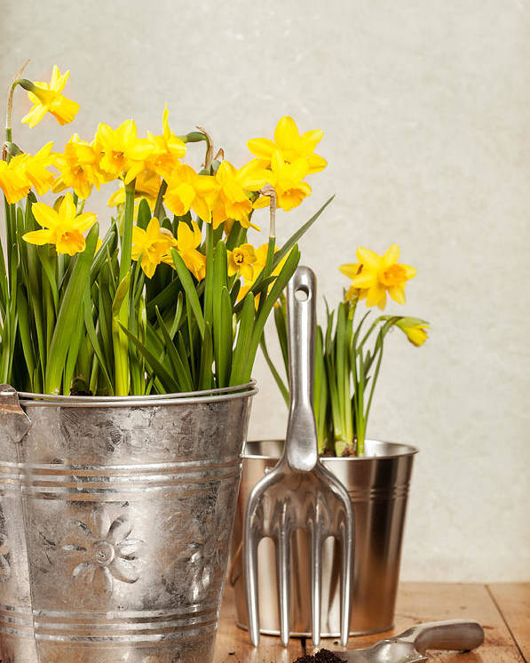 Spring Poster featuring the photograph Buckets Of Daffodils by Amanda Elwell