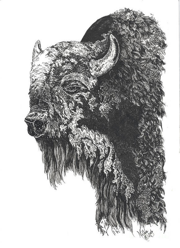 Buffalo Poster featuring the drawing Buffalo In Spring by Meldra Driscoll