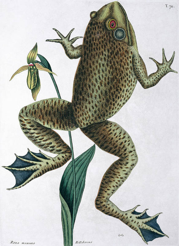 1683-1749 Poster featuring the photograph Bull Frog by Natural History Museum, London