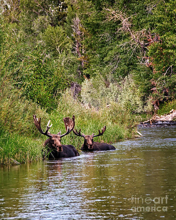 Moose Poster featuring the photograph Bull Moose Summertime Spa by Timothy Flanigan