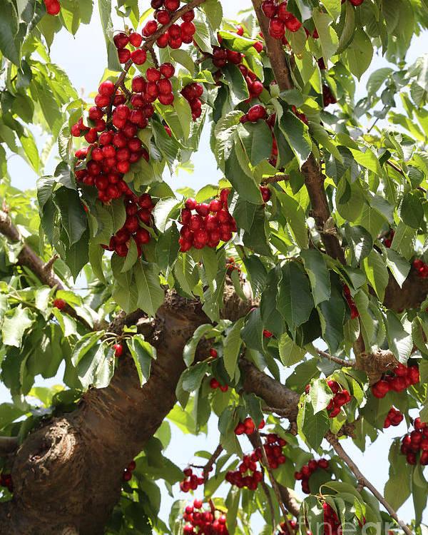 Cherry Poster featuring the photograph Bumper Crop - Cherries by Carol Groenen