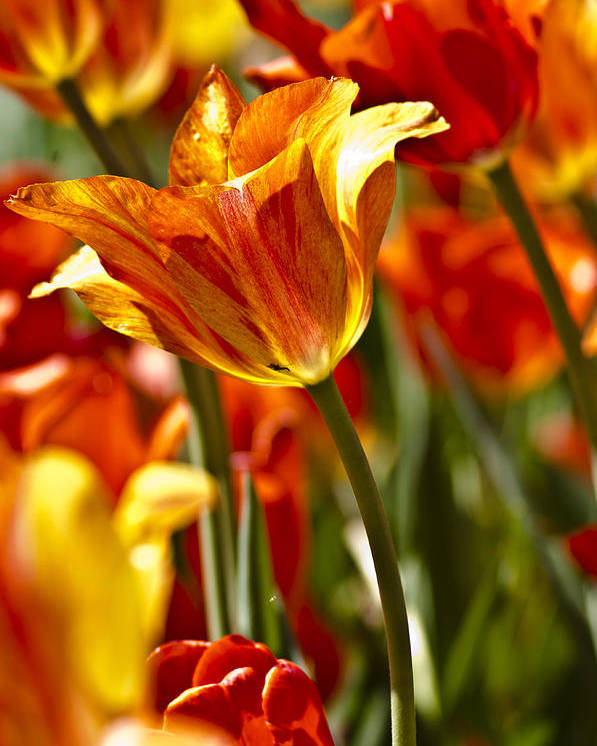 Tulip Poster featuring the photograph Tulips-flowers-tulips Burning by Matthew Miller