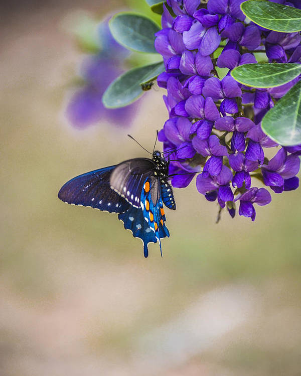 Mountain Laurel Poster featuring the photograph Butterfly Mountain by Debbie Karnes