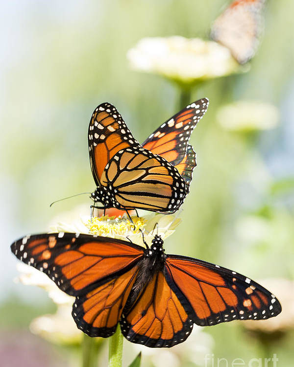 Butterflies Poster featuring the photograph Butterfly Trio by Patty Colabuono