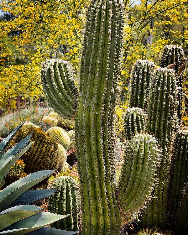 Cacti Poster featuring the photograph Cacti Habitat by Kelley King