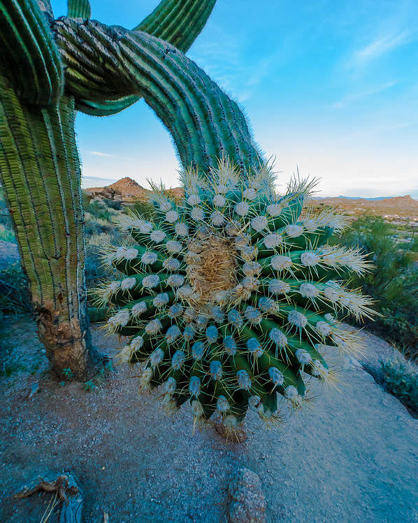 Nature Poster featuring the photograph Cactus With A Twist by Paul Johnson