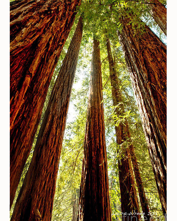 Redwoods Poster featuring the photograph California Coastal Redwoods by Artist and Photographer Laura Wrede