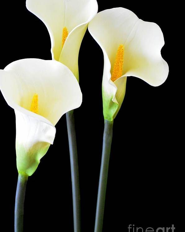 Calla Lily Poster featuring the photograph Calla Lilies In Triplicate by Mary Deal