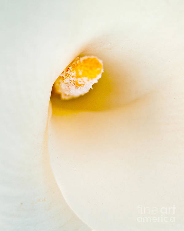 Calla Lily Poster featuring the photograph Calla Lilly by Bill Gallagher